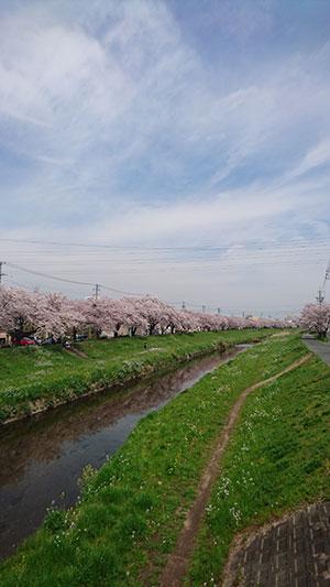 会社南側の桜並木